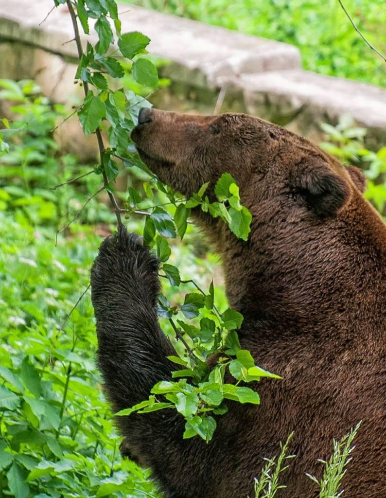 ursulică